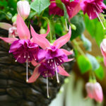 Fuchsia - Unique Botanica